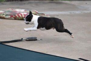 The Boston Terrier Standard