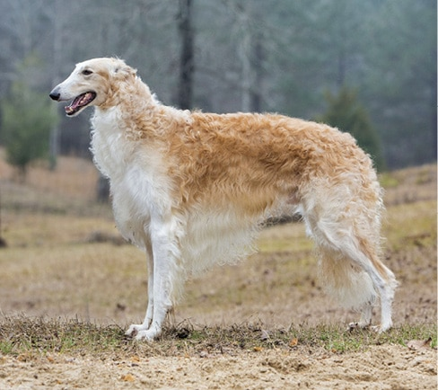 Borzoi Breed Type | Sorting Out 3 Elements