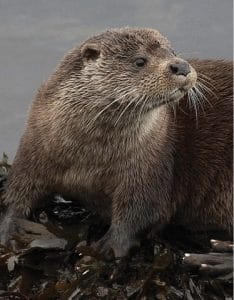 The Otter Head | Hallmark of the Border Terrier
