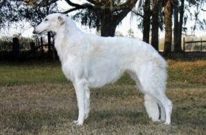 Solving The Borzoi Puzzle | Allowing the Pieces to Fall into Place