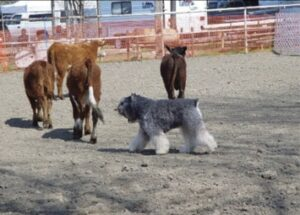 Hair of the Dog: Herding Group Coat Requirements