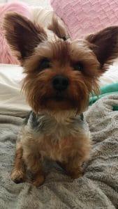 Yorkshire Terrier National Rescue (YTNR)