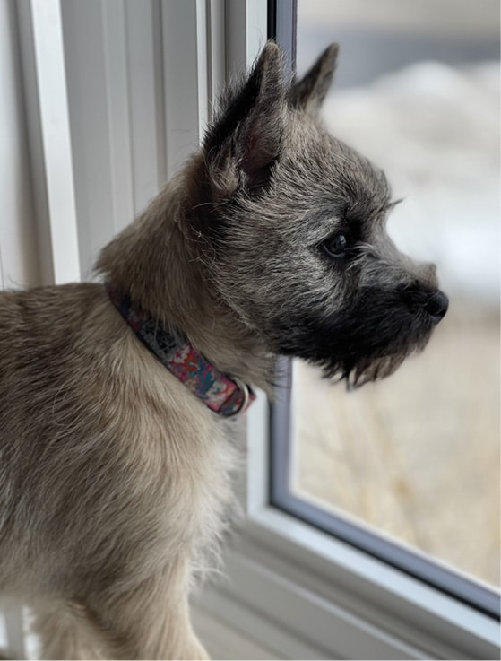 Cairn Terrier Breed Standard   General Foxy Expression