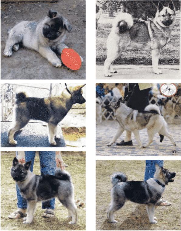 Norwegian Elkhounds   Breed Judging