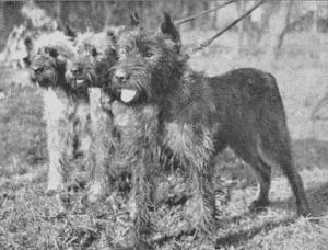 Bouvier des Flandres: A Farmer's Dog