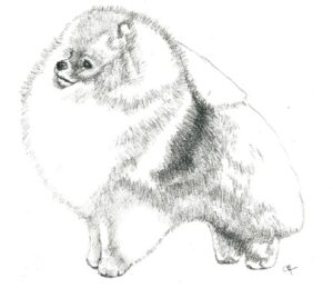 Pomeranian   Start in Whelping Box & Not In The Show Ring