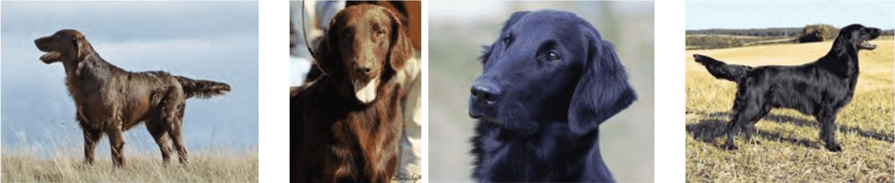 Flat-Coated Retrievers Dogs