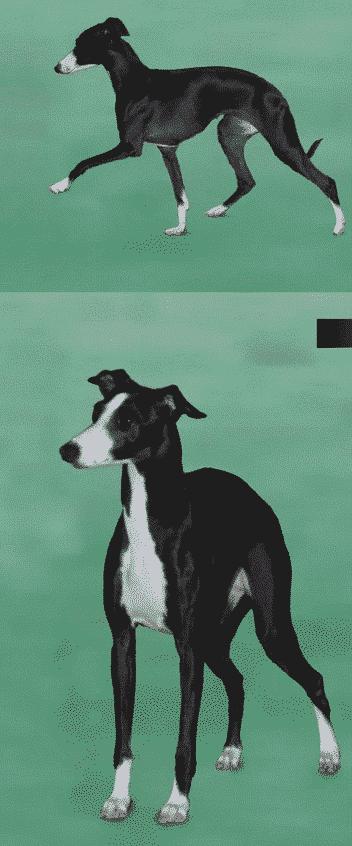 The Basics Of Judging   The Italian Greyhound Standard