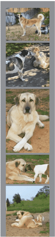 The Quiet Man: The Anatolian Shepherd Dog In The Show Ring