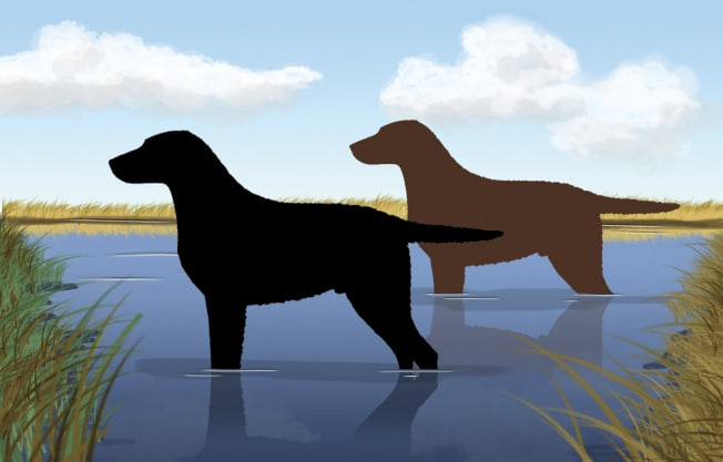 The Outline of the Curly-Coated Retriever
