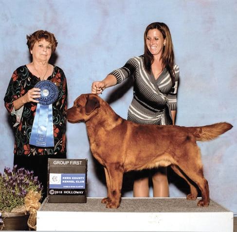 Labrador Retriever in a Dog Show