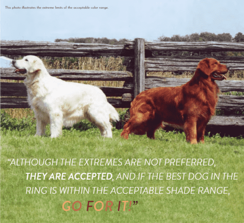 Golden Retriever Dogs Gold and Brown