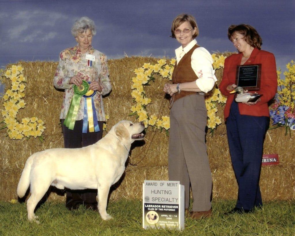 Labrador Retriever Wins Dog Show