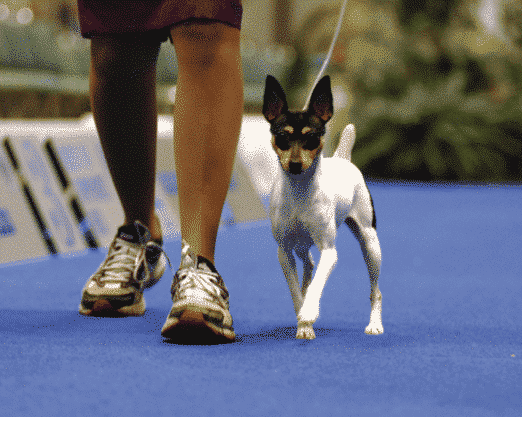 How The Toy Fox Terrier Is Judged