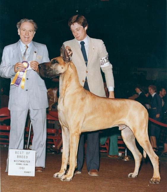 Dog Show Great Dane Breed