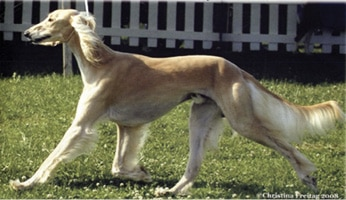 Ancient Breed   The Sighthound Genetic Analysis