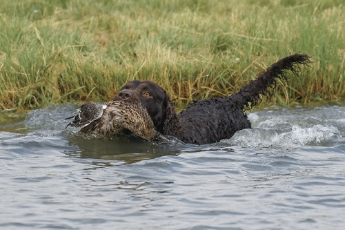 The Best Hunting Dog Amercian Water Spaniel