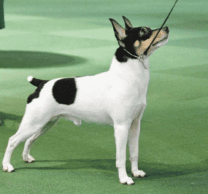 The Toy Fox Terrier Dog Breed