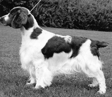How is Welsh Springer Spaniel Judged
