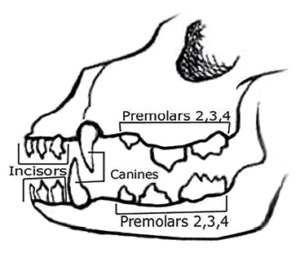 Canine Dentition | What's the big deal?