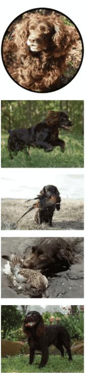 Why you will love Boykin Spaniel Dog Breed!