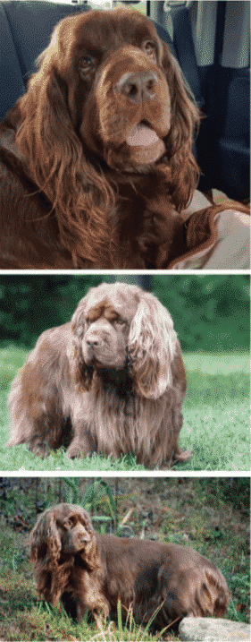 Why does Sussex Spaniel look so sad ?