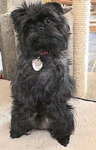 Image of Toy Dog Affenpinscher named Busby
