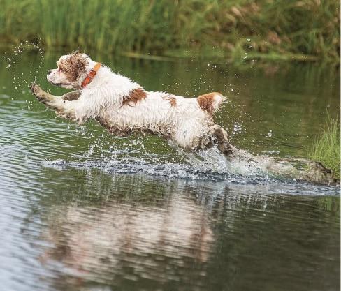 Cocker Spaniel in water