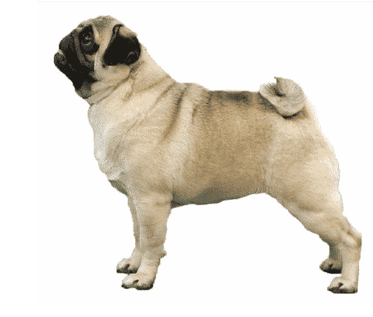 What makes a Pug   Round Head, Square Body, Curly Tail