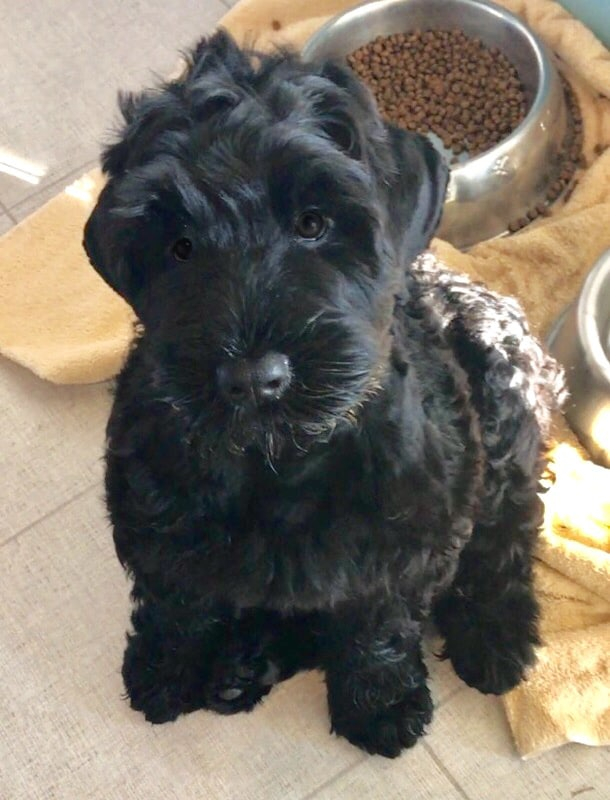 The Black Russian Terrier : A Picture of Health