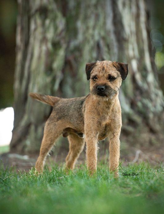 Border Terrier Carr