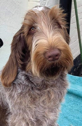 The  Spinone Italiano | A Well-Made Puzzle