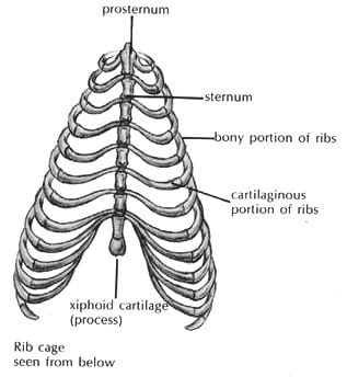 The Body of the Dog (The Chest)